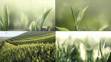 茶叶生长动画视频素材