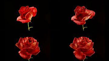 4K玫瑰花开视频素材