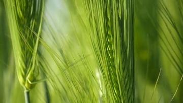 4K特写小麦青麦穗