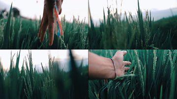 抚摸麦穗的手视频