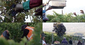 4K葡萄庄园摘葡萄的老百姓