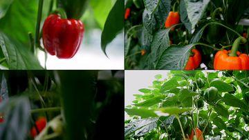 4K辣椒种植基地
