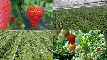 现代农业草莓种植基地