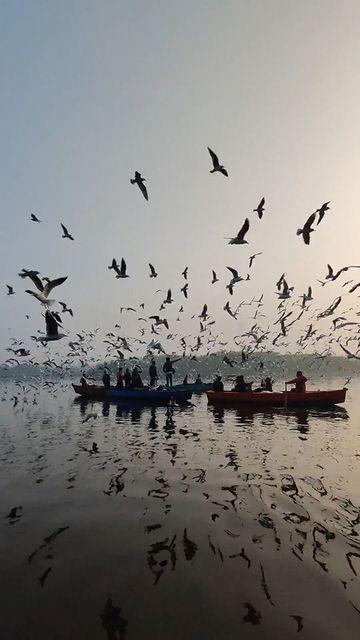 湖面上数百只的飞鸟视频素材