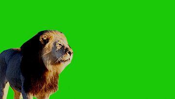 狮子绿幕背景视频素材