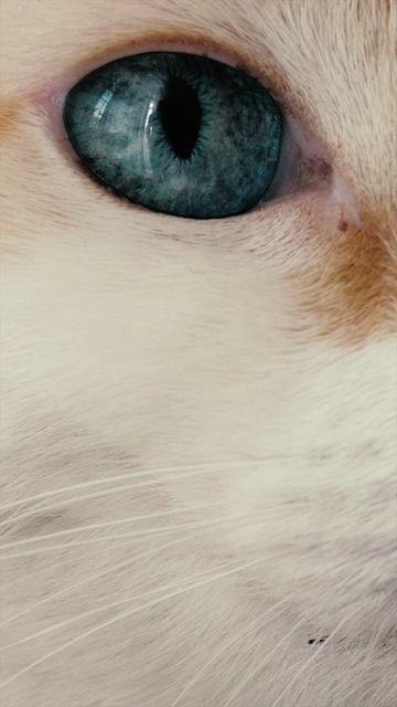 蓝眼睛的白猫竖屏视频素材