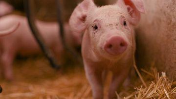 4K一只小猪看向镜头视频素材