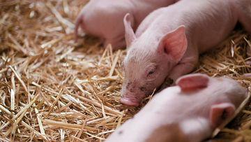 4K三只小猪在睡觉视频素材