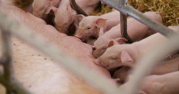 4K猪圈里的小猪在吃奶视频素材