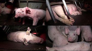 刚生完猪仔的猪妈妈视频素材